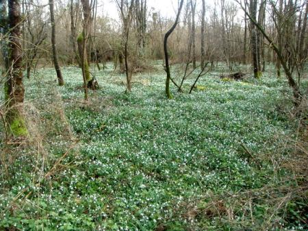 galanthus in French woods from Alan