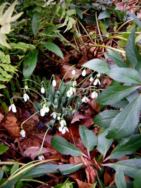 Galanthus elwesii var. monostichtus Hiemalis Group CSG -01