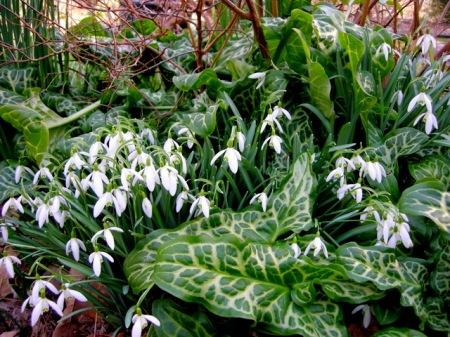 Galanthus nivalis & Arum itlalicum