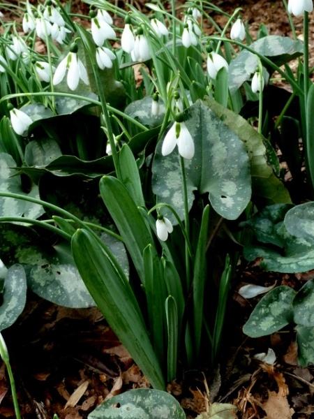 Galanthus 'Standing Tall'