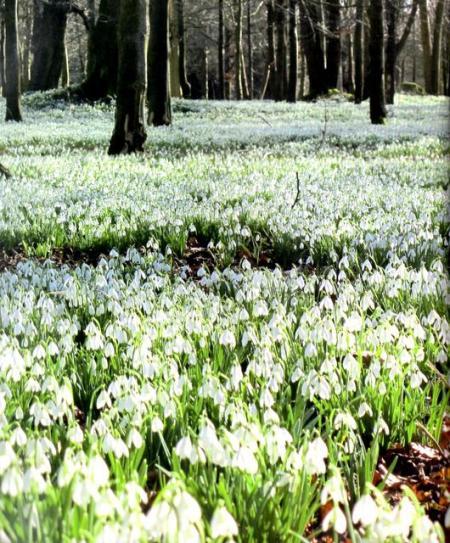 Galanthus nivalis in Welford Park, Berkshire