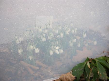Galanthus elwesii 'Xmas'