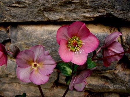 Helleborus x 'Penny's Pink' 3-30-2015 11-24-21 AM