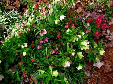 Corydalis solida, helleborus
