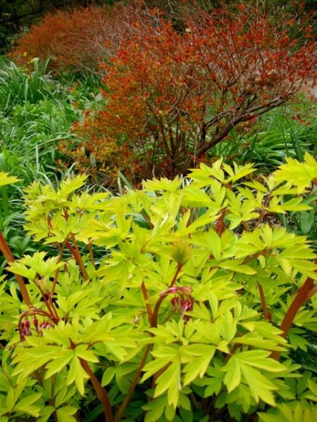Spiraea japonica 'Magic Carpet', Dicentra spectabilis 'Goldheart'