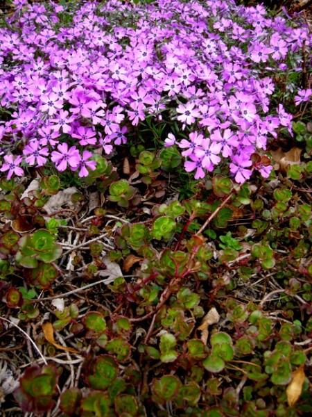 Phlox subulata 'Purple Beauty', Sedum