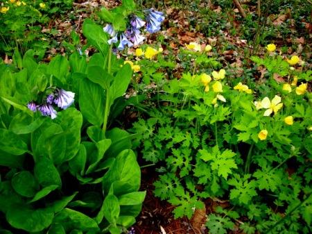 Mertensia virginica, Stylophorum diphyllum