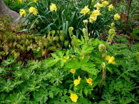 Epimedium versicolor 'Sulphureum', Stylophorum diphyllum, Osmunda cinnamomea