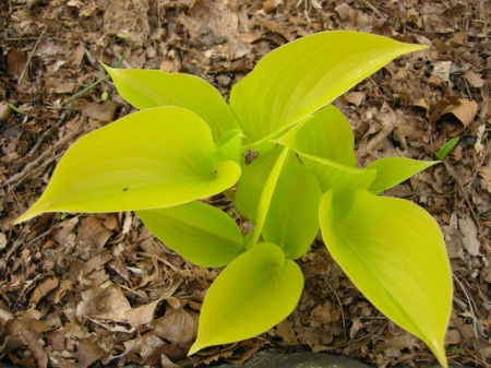 Hosta 'Appletini'