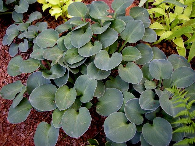 Mouse Ears Hostas Carolyns Shade Gardens