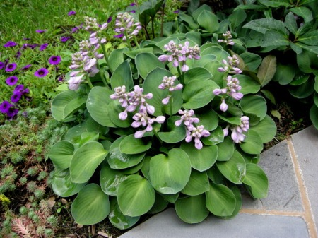 Hosta 'Blue Mouse Ears' 6-21-2015 1-44-28 PM