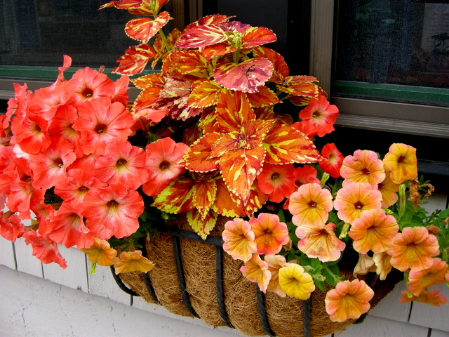 shade flowers for window boxes summer window boxes in camden maine 7142015 53258 pm annuals for carolyns shade gardens