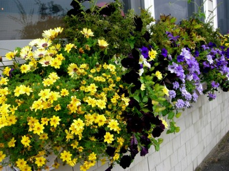 window boxes in Camden Maine 7-14-2015 5-46-07 PM