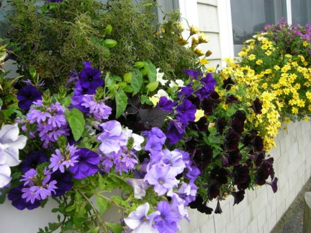 window boxes in Camden Maine 7-14-2015 5-46-17 PM