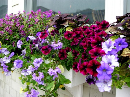 window boxes in Camden Maine 7-14-2015 5-46-35 PM