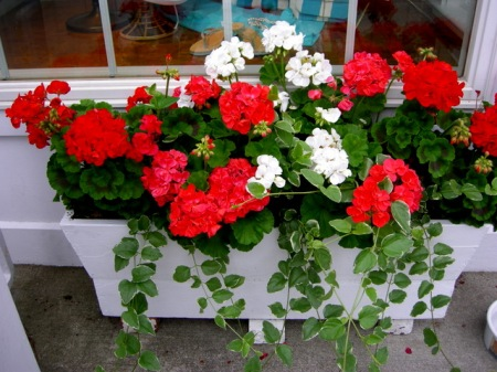 window boxes in Camden Maine 7-14-2015 6-02-03 PM
