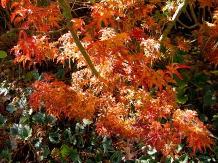 Fall Foliage 2015 Carolyn's Shade Gardens-0011