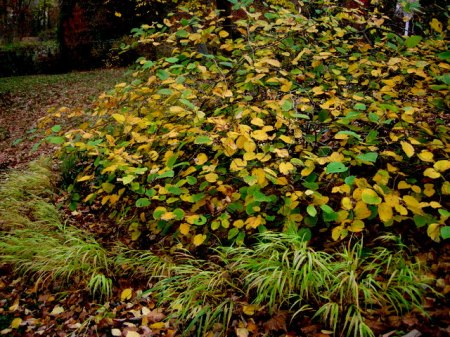Fall Foliage 2015 Carolyn's Shade Gardens-003