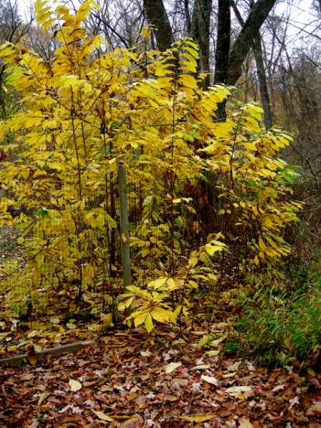 Fall Foliage 2015 Carolyn's Shade Gardens-004