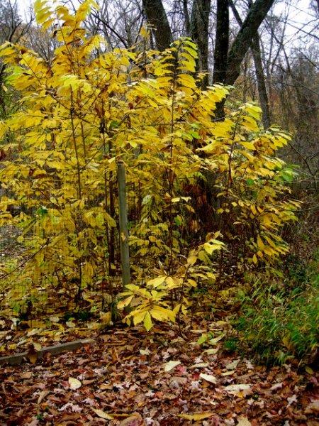 Fall Foliage 2015 Carolyn's Shade Gardens-004