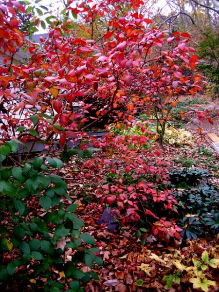 Fall Foliage 2015 Carolyn's Shade Gardens-005