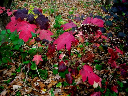 Fall Foliage 2015 Carolyn's Shade Gardens-006