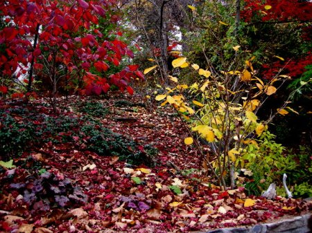 Fall Foliage 2015 Carolyn's Shade Gardens-007