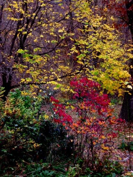 Fall Foliage 2015 Carolyn's Shade Gardens-009