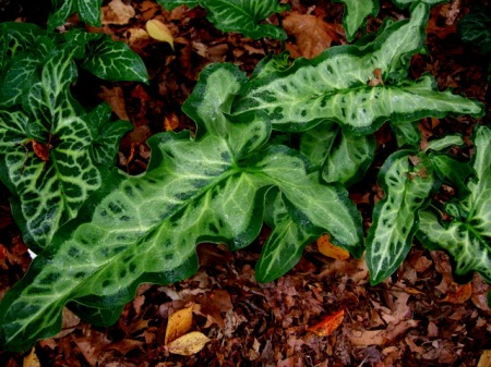 Arum itlaicum selected seedling