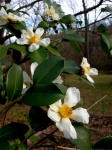Camellia oleifera 'Lu ShanSnow'