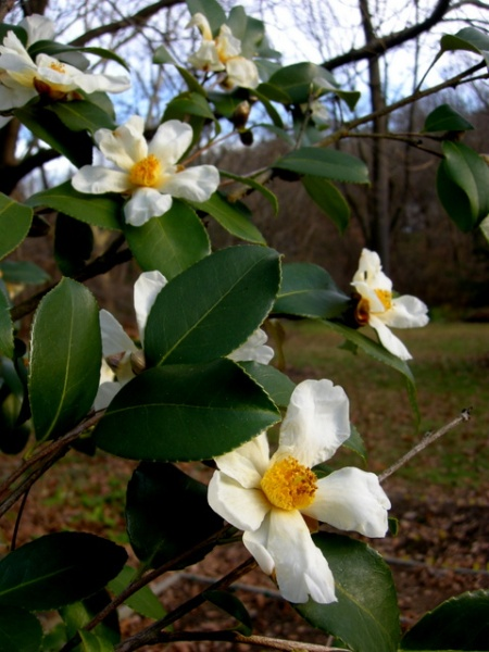 Camellia oleifera 'Lu Shan Snow'
