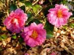 Camellia x 'Winter's Joy'-001