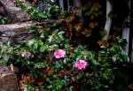Camellia x 'Winter's Joy'-003