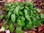 "Epimedium stellulatum ""Long LeafForm"""