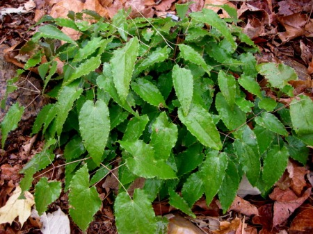"Epimedium stellulatum ""Long Leaf Form"""