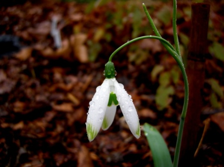 Galanthus 'Fly Fishing'