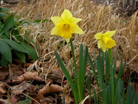 Narcissus 'Rijnveld's Early Sensation'