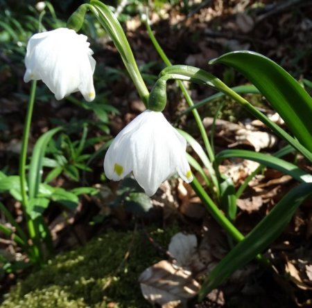 Leucojum Johan Germany 2