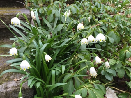 Leucojum vernum at Winterthur 2016 3-12-2016 2-52-03 PM 3-12-2016 2-52-03 PM