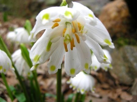 Leucojum vernum 'Gertrude Wister' Cresson garden