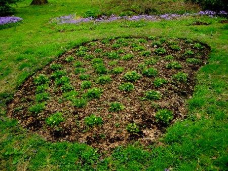 Chrysognum virginianum 4-26-2016 11-47-51 AM