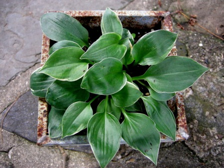 Hosta 'Dew Drop'