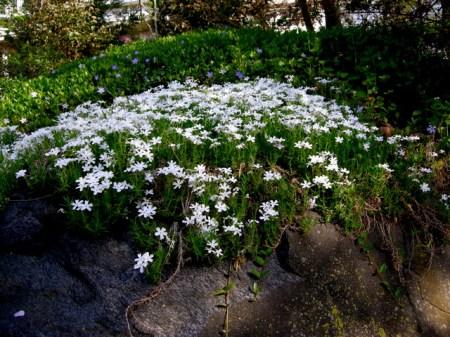 Phlox subulata 'Nice 'n White'