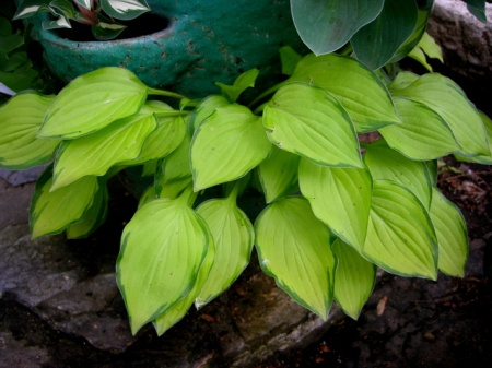 Hosta Green with Envy