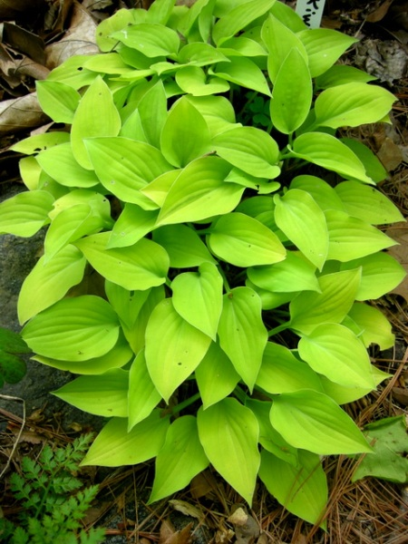 Hosta Kiwi Golden Thimble