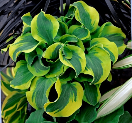 Hosta 'School Mouse' Walters