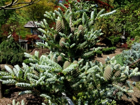 Abies koreana Ambleside  6-2-2016 10-40-47 AM - Copy