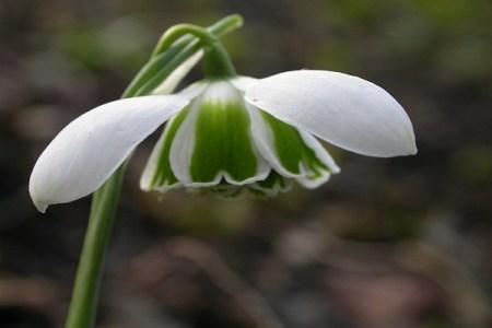 Galanthus 'Cordelia'