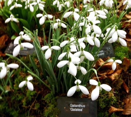 Galanthus 'Galatea' Cavallo photo