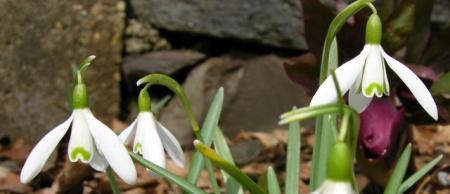Galanthus nivalis 'Tiny'